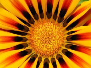 Flor amarela e vermelha, laranja Foto gratuita