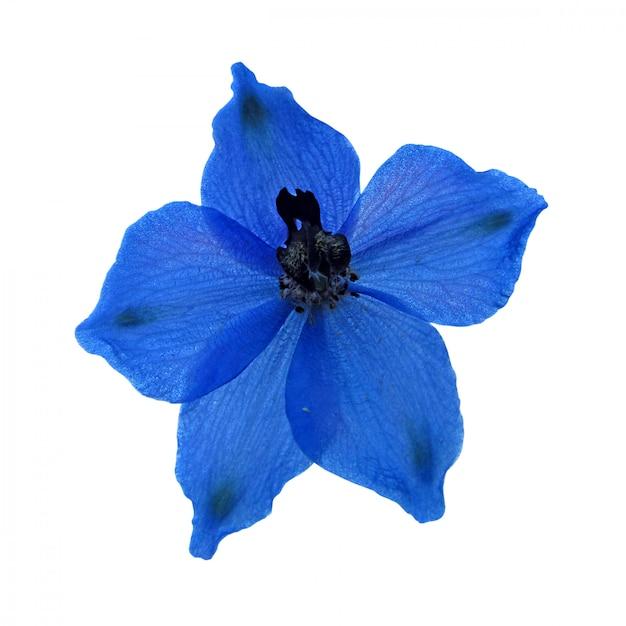 Flor azul isolado no fundo branco Foto Premium
