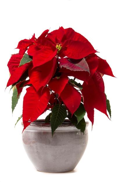 Flor bonita da poinsétia (pulcherrima do eufórbio). Foto Premium