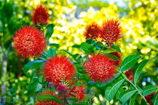 Flor combretum erythrophyllum Foto Premium