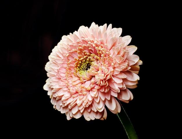 Flor cor-de-rosa delicada do gerbera na frente do fundo preto. cenário florístico simples. Foto Premium