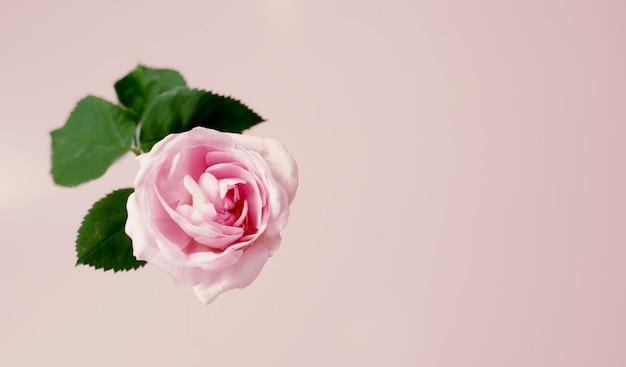 Flor cor-de-rosa do chá cor-de-rosa delicado contra o fundo do vanille. modelo de vista superior. Foto Premium