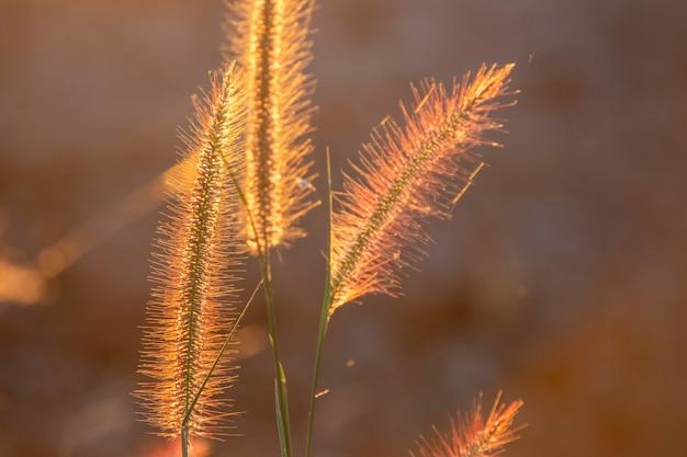 Flor da grama do poaceae nos raios do fundo do por do sol de aumentação. Foto Premium