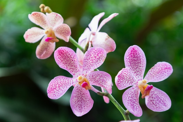 Flor da orquídea no jardim da orquídea no dia do inverno ou de mola. orquídea mokara Foto Premium