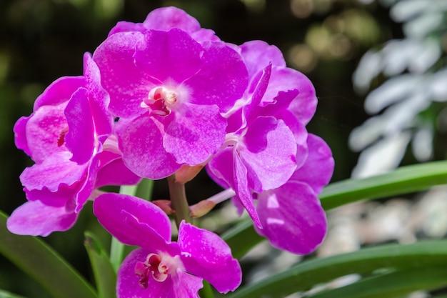 Flor da orquídea no jardim da orquídea no dia do inverno ou de mola. orquídea vanda. Foto Premium