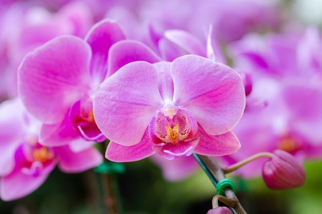 Flor da orquídea no jardim no dia do inverno ou de mola. Foto Premium
