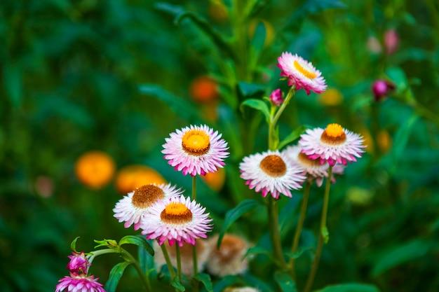 Flor da palha de bonito colorido na natureza da grama verde em um jardim da mola. Foto Premium