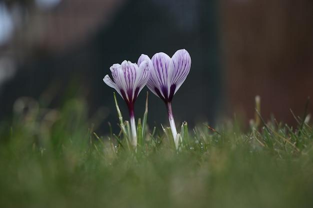 Flor de açafrão de primavera de pétalas roxas bonitas Foto gratuita
