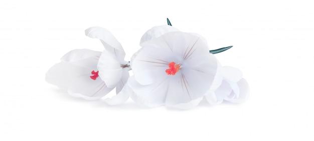 Flor de açafrão em fundo branco Foto Premium