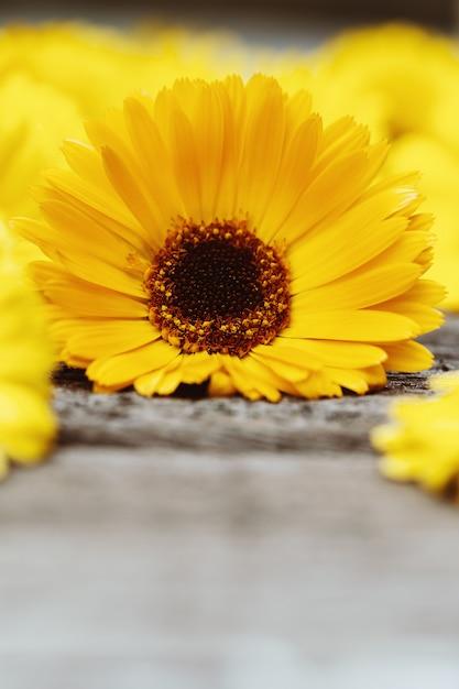 Flor de calêndula na superfície de madeira Foto Premium