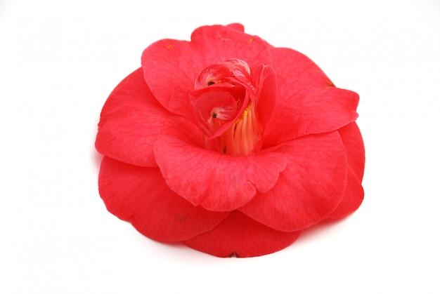 Flor de camélia rosa Foto Premium
