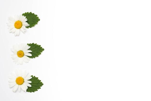 Flor de camomila branca com folhas em uma linha na superfície branca Foto gratuita