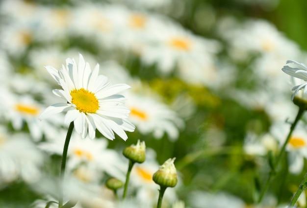 Flor de camomila Foto Premium