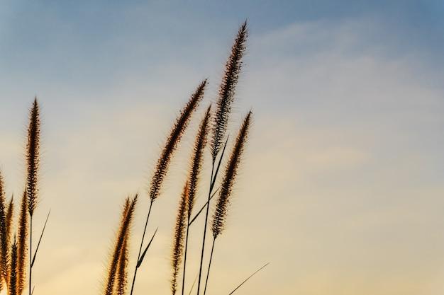 Flor de capim com cor do pôr do sol do céu Foto Premium
