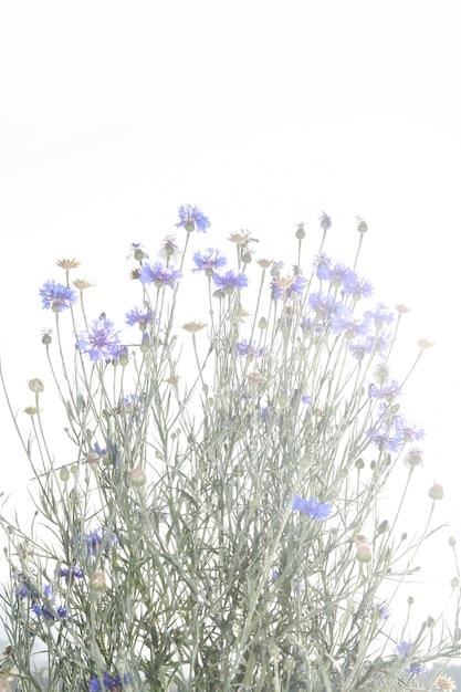 Flor de capim roxo Foto Premium