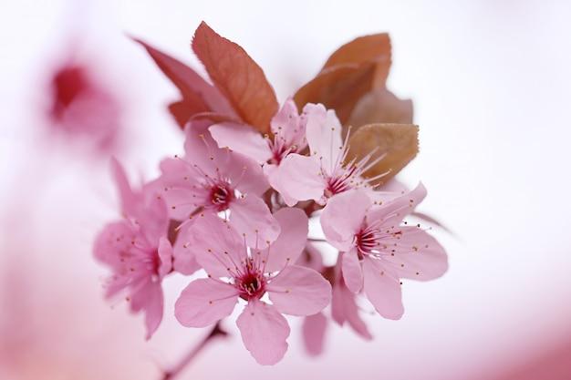 Flor de cerejeira com fundo desfocado Foto Premium