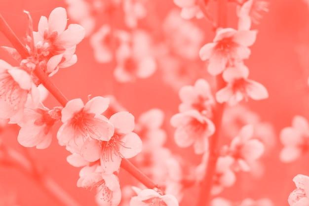 Flor de cerejeira em tons de coral Foto Premium