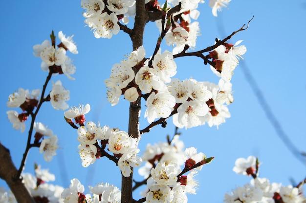 Flor de cerejeira. florescendo de flores de damasco. flores da primavera Foto Premium