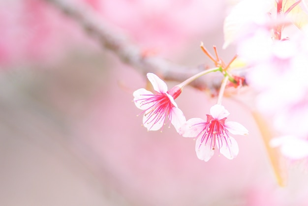 Flor de cerejeira na primavera com foco suave Foto Premium