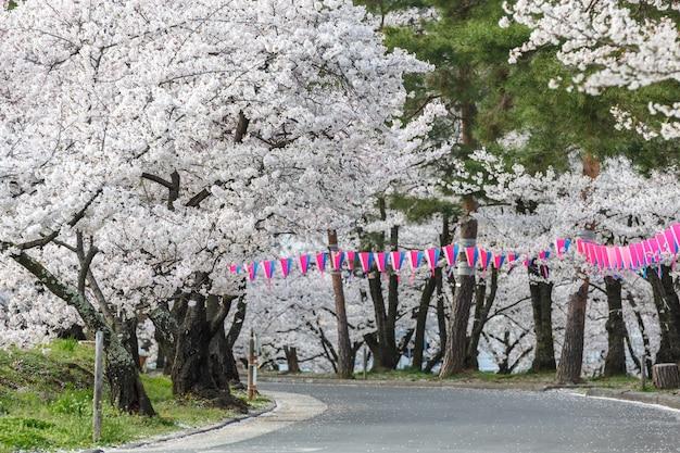 Flor de cerejeira no parque joyama durante o festival de hanami, matsumoto Foto Premium