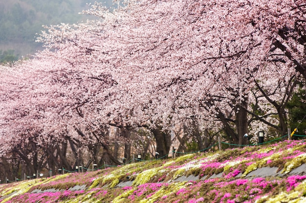 Flor de cerejeira plena floração com primeiro plano de musgo rosa no lago de costa norte de kawaguchiko Foto Premium