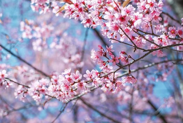 Flor de cerejeira rosa a beleza natural das flores de cerejeira Foto Premium