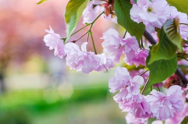 Flor de cerejeira, sakura linda primavera rosa flores close-up em vegetação embaçada Foto Premium