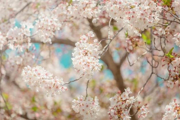 Flor de cerejeira sakura no japão com fundo desfocado céu azul Foto Premium