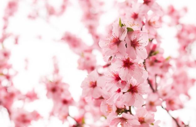 Flor de cerejeira Foto gratuita