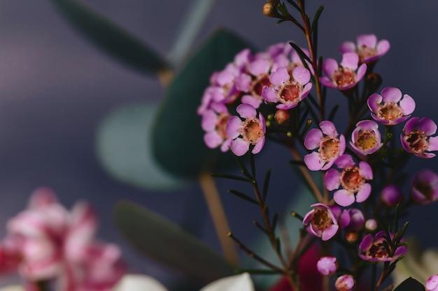 Flor de chamelaucium em fundo simples Foto Premium
