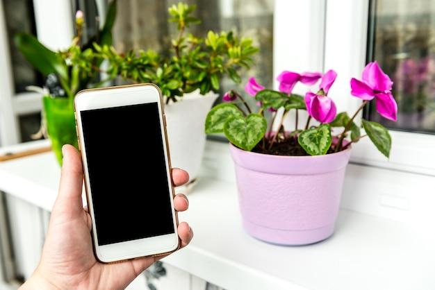 Flor de ciclâmen de quarto que floresce na varanda. telefone celular e flores. Foto Premium