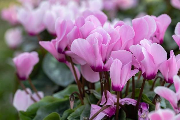 Flor de ciclâmen rosa no jardim Foto Premium
