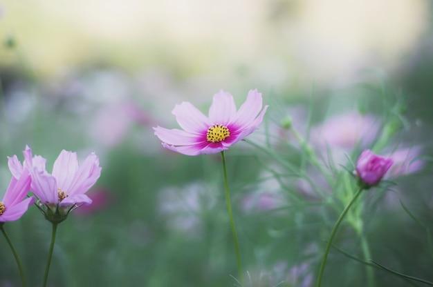 Flor de cosmos rosa no jardim Foto Premium