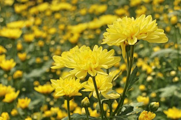 Flor de crisântemo em tropical Foto Premium