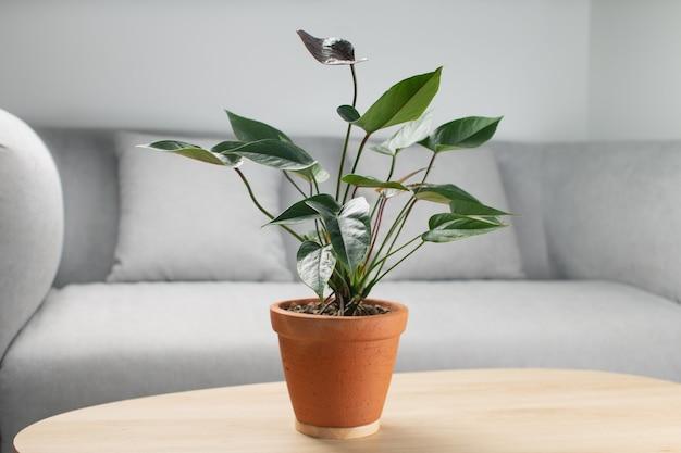 Flor de flamingo preto ou anthurium andraeanum em panela de barro na mesa de madeira na sala de estar. instalações de purificação de ar em casa Foto Premium