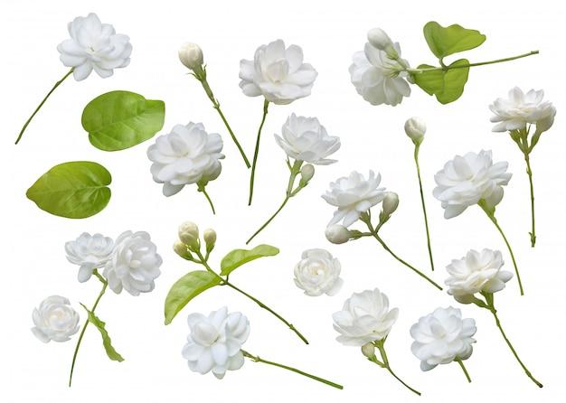 Flor de jasmim isolado Foto Premium