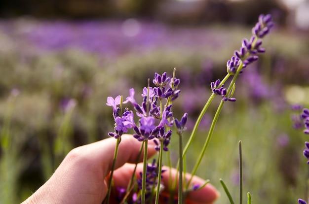 Flor de lavanda aromática e menina mão pegando de field.close up erva de lavanda Foto Premium