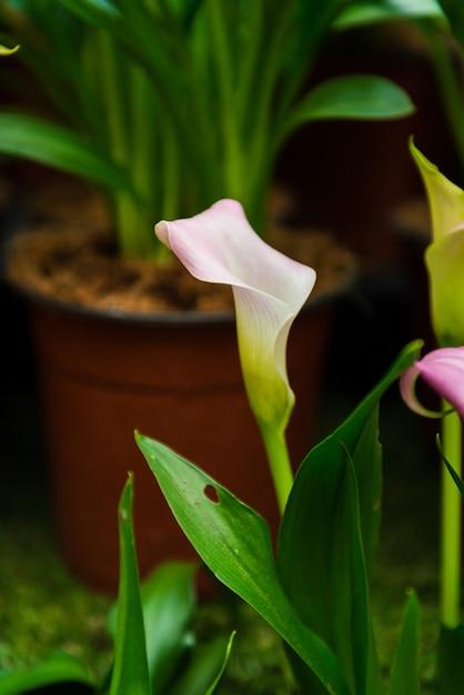 Flor de lírio de calla Foto Premium