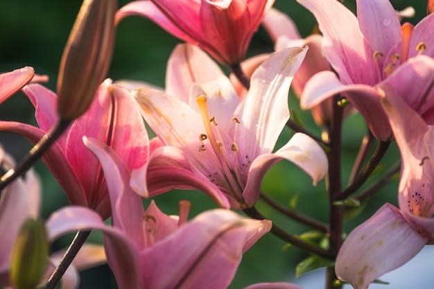 Flor de lírio rosa no jardim. closeup de flor de lírio. Foto Premium