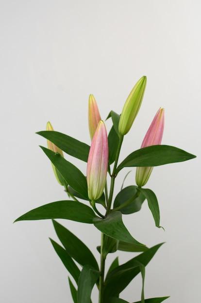 Flor de lírio rosa sobre fundo branco isolado Foto Premium