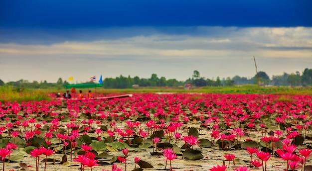 Flor de lótus ascendente do sol na tailândia Foto Premium