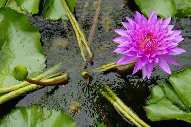Flor de lótus cor-de-rosa e folha verde na água. Foto Premium