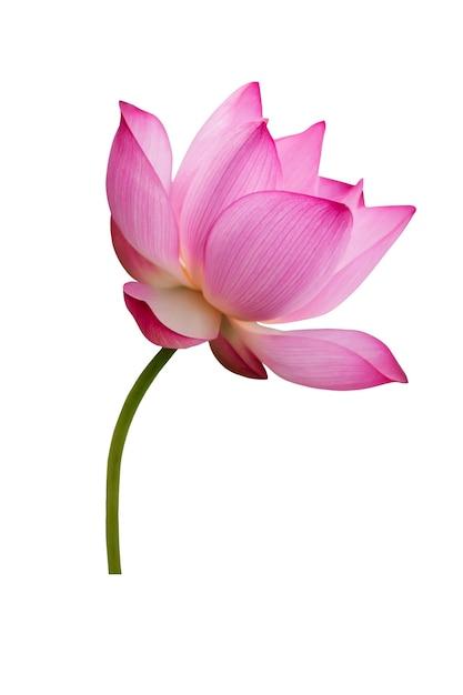 Flor de lótus isolada no branco. arquivo contém com traçado de recorte tão fácil de trabalhar. Foto Premium