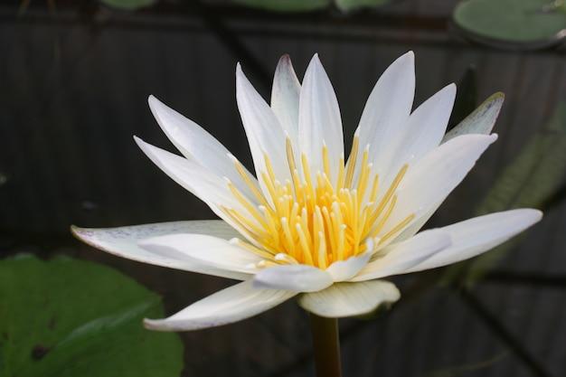 Flor de lótus na lagoa, cor de tom vintage Foto Premium