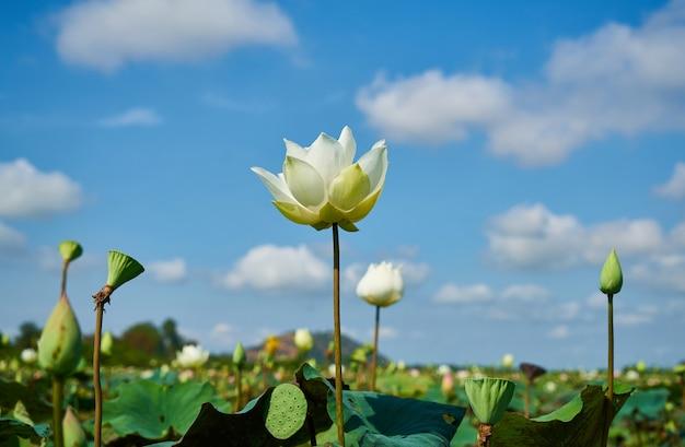 Flor de lotus Foto gratuita