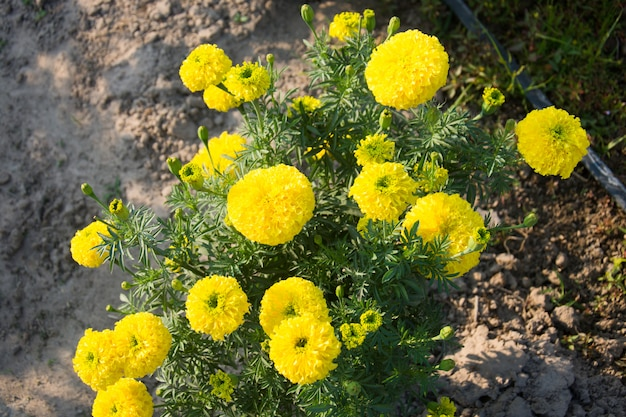 Flor de malmequeres Foto Premium