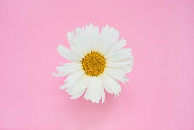Flor de margarida branca em rosa Foto Premium