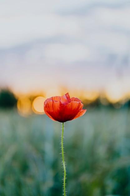 Flor de papoula vermelha ao pôr do sol em um campo de verão Foto gratuita