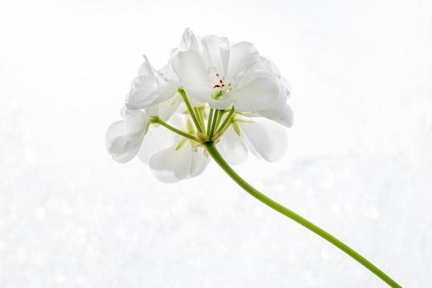 Flor de pelargonium (gerânio) branco sobre um fundo branco close-up Foto Premium