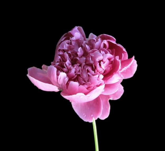 Flor de peônia rosa isolada no fundo preto Foto Premium